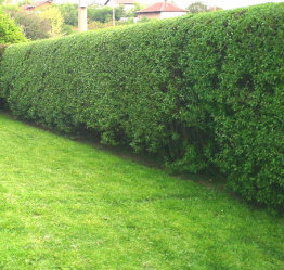 Hedges after Trimming
